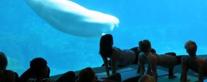 Lekce jógy s běluhami ve vancouverském akváriu